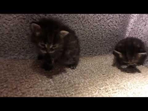 Chaynikoty Siberian Cats