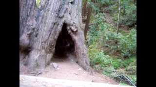 Redwood Forest, Big Sur, CA - Walking Into A Hole In A Giant Redwood Tree