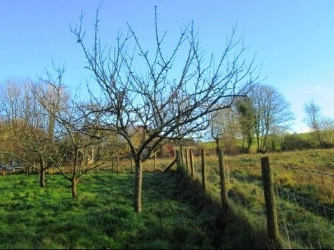 How To Prune Established Apple Trees Youtube