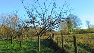 How to Prune Established Apple Trees