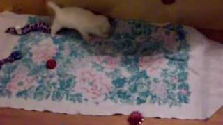 Westie Puppies 8-24-2011