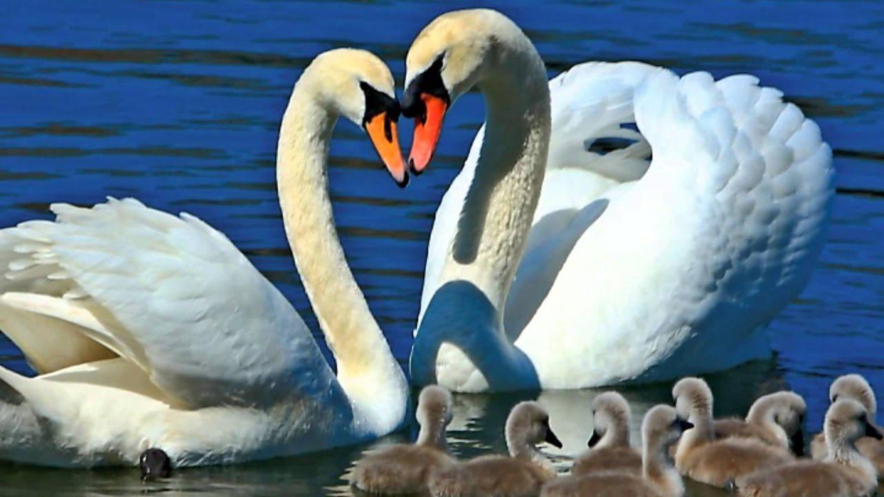 картинка два лебедя