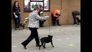 Birmingham National Championship Dog Show 2010 - Staffordshire Bull Terriers