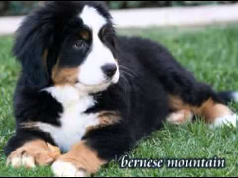 Bernese Mountain Dog Puppies For Sale In Pa Youtube