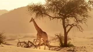 Дикие животные Африки Животные мира пустыни и саванны Жираф Охота Сафари Самые высокие