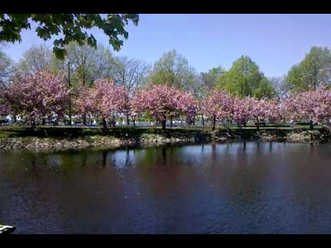 Boston Esplanade Spring with Cherry Trees in Bloom