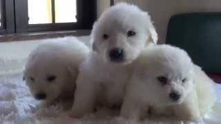 グレートピレニーズの子犬です。 白い小熊のぬいぐるみのように、とって...