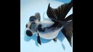Một số loại cá vàng cảnh đẹp và lạ nhất Việt Nam - Cá vàng bơi