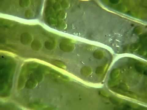 photosynthesis in spinach chloroplas lab 7
