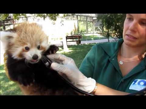 Control médico de las crías de panda rojo del Zoo de Madrid