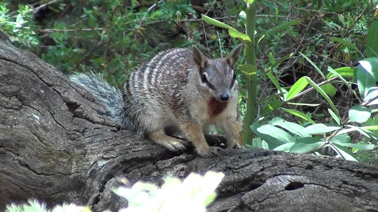 numbat report The numbat, also called the banded anteater, is a small endangered marsupial  animal native to parts of australia they have a long sticky tongue that allows.