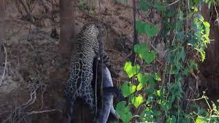 Jaguar hunting Caiman