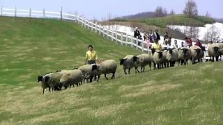 士別市の羊と雲の丘で行われているシープドッグショー。1匹の牧羊犬が苦...