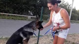 Щенок немецкой овчарки Рой (4 мес.) Видео-урок дрессировка
