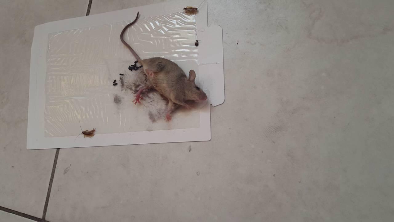 Como atrapar ratones - YouTube