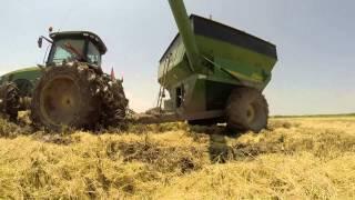 Rice Harvest 2014- Grosse Savanne