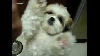 [shih Tzu] Ewok Trick04 - Go Pee Pee