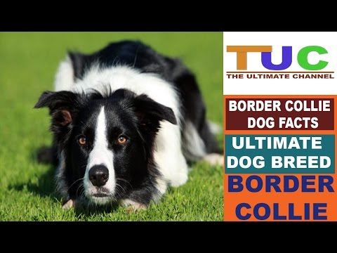 Border Collie Dog Facts In Hindi | Dog Facts | Popular Dogs | The Ultimate Channel