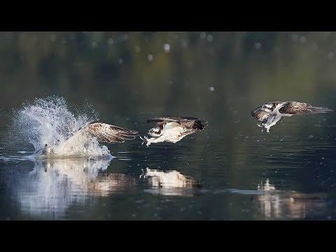 SHOWREEL - Osprey Hunting - Fischadler jagt