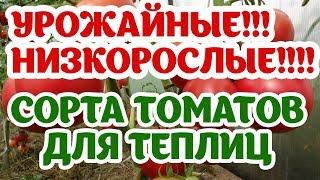 Самые урожайные низкорослые томаты для теплиц. Наш опыт