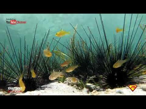 YELLOW-STRIPED CARDINAL FISH & GOLD BELLY CARDINAL FISH