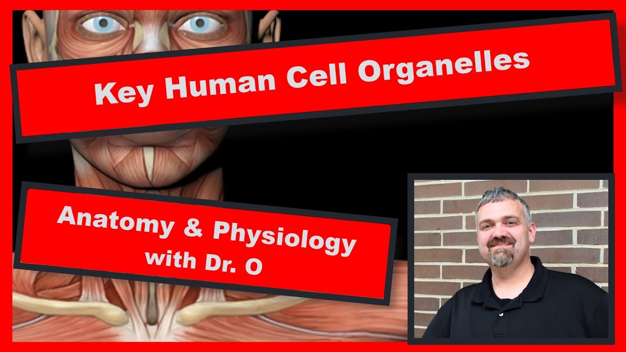 Key Human Cell Organelles: Anatomy and Physiology - YouTube