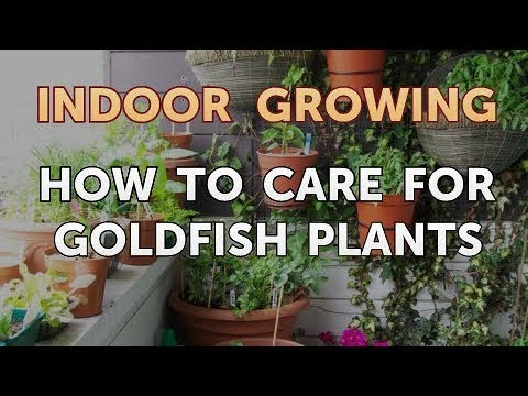 How To Care For Goldfish Plants