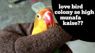 love birds colony breeding -  how to get high profit from love bird colony breeding