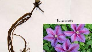 Саженцы клематиса (купили, что с ними делать). Seeds of clematis.