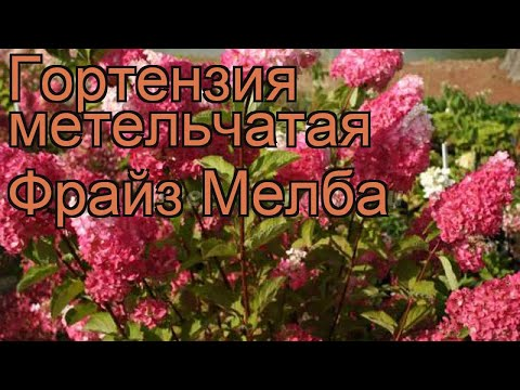 Гортензия метельчатая Фрайз Мелба 🌿 обзор: как сажать, саженцы гортензии Фрайз Мелба