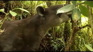 Danta (Tapirus bairdii) / Bosque de familia cliente FUNDECOR