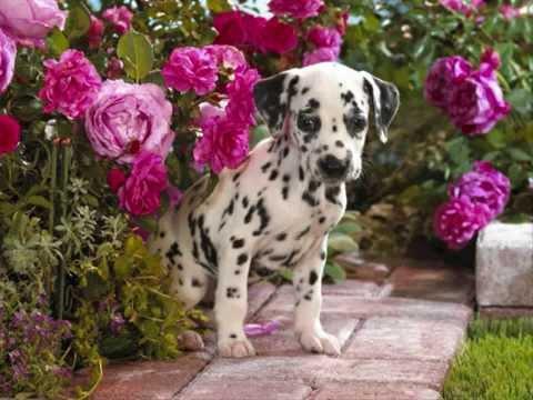 Все породы собак.Далматин (Dalmatian)