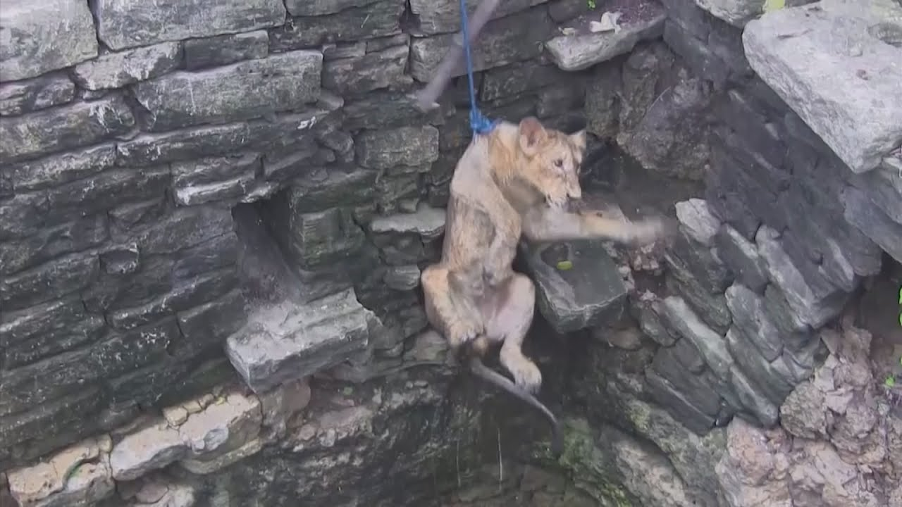 A baby asiatic lion cub is rescued from an 80-ft well