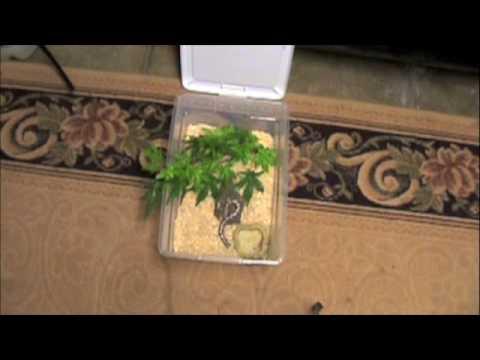Reptiles-TV Contest Entry ( Dusk The Anery Kenyan Sand Boa)
