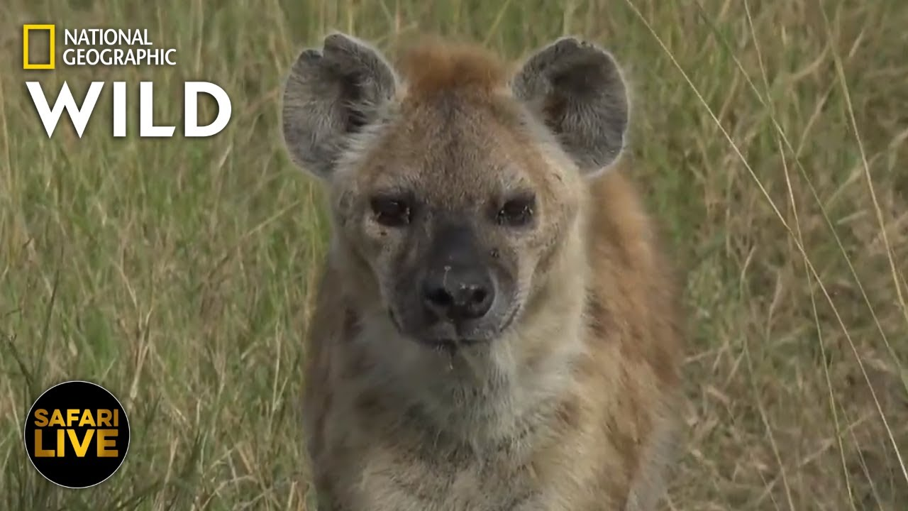 Safari Live - Day 346 | Nat Geo Wild