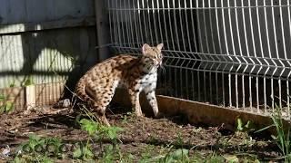 Летняя резиденция леопардовых кошек. Высаживаем на улицу.