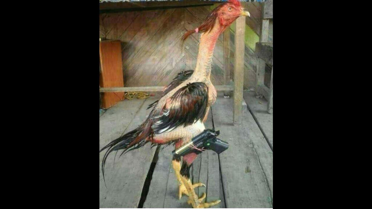 chiste de el gallo poninas
