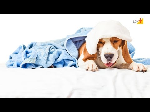 Desmaios - Curso a Distância Primeiros Socorros para Cães e Gatos