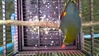 kicau-burung-robin-isian-gacor