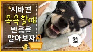 시바견(shibainu)_탱이 시바견 목욕 시킬때 생기는 일(feat. 물벼락)