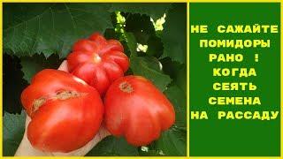 Когда сажать помидоры на рассаду?НЕ САЖАЙТЕ РАНО !