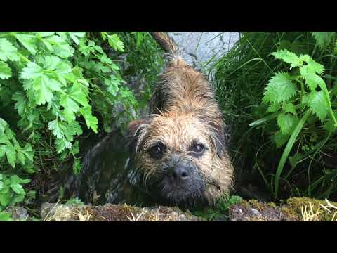 A Walk With A 9 Month Old Border Terrier