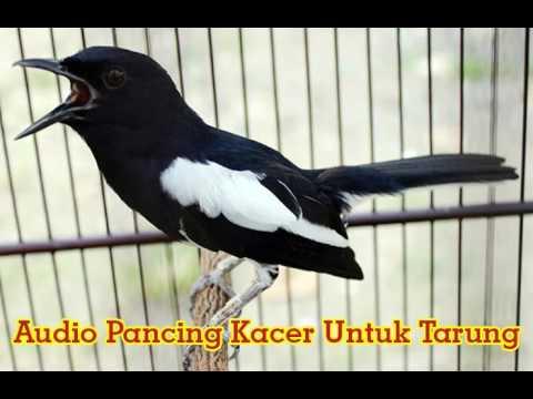 Suara Burung Kacer Tarung [Audio Simulasi Lomba]
