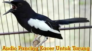 Video Suara Burung Kacer Tarung [Audio Simulasi Lomba] download MP3, 3GP, MP4, WEBM, AVI, FLV September 2018