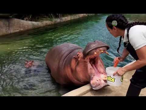 Desde el Zoológico: Nacimiento de hipopótamo