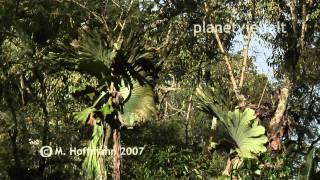 Geweihfarn Platycerium in Sekundärwald bei Wau, Papua-Neuguinea, elkhorn ferns