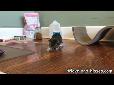 Genius 3 1/2 week old kitten Praline is playing