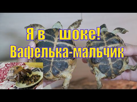 ЧЕРЕПАХА ВАФЕЛЬКА ОКАЗЫВАЕТСЯ МАЛЬЧИК! /КАК ОПРЕДЕЛИТЬ ПОЛ У ЧЕРЕПАХИ