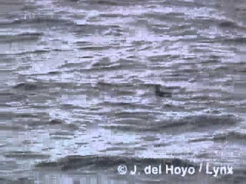 Peruvian Diving-petrel