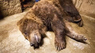 Brown bears nap in the name of science